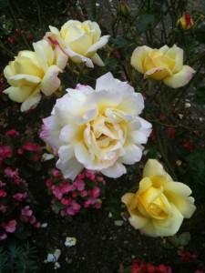 gardenroseyellowwhite